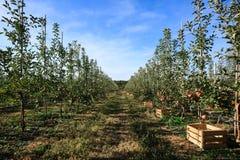 Σειρά δέντρων της Apple με τα κιβώτια για τα φρούτα Στοκ Εικόνες