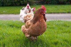 Σειρά αναμονής των κοτόπουλων στοκ φωτογραφίες με δικαίωμα ελεύθερης χρήσης