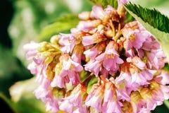 Σειρά θερινών λουλουδιών, μακρο άποψη του λουλουδιού purpur Στοκ Εικόνες