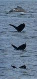 σειρά κατάδυσης humpback Στοκ Φωτογραφίες