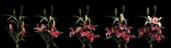 Σειρά λουλουδιών κρίνων Στοκ εικόνα με δικαίωμα ελεύθερης χρήσης