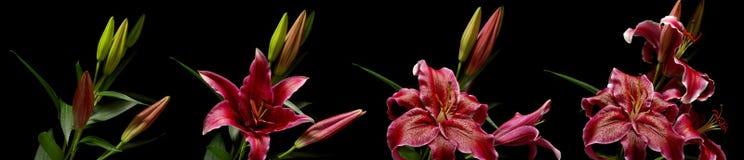Σειρά λουλουδιών κρίνων Stargazer Στοκ φωτογραφία με δικαίωμα ελεύθερης χρήσης