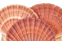 Σειρά των θαλασσινών κοχυλιών των μαλακίων που απομονώνεται στο άσπρο υπόβαθρο Στοκ εικόνες με δικαίωμα ελεύθερης χρήσης