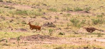 Σειρά φωτογραφιών: Κυνήγι τσιτάχ για μεγάλο Impala Το έβδομο επεισόδιο masai της Κένυας mara Στοκ φωτογραφία με δικαίωμα ελεύθερης χρήσης