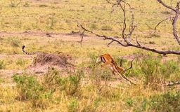 Σειρά φωτογραφιών: Κυνήγι τσιτάχ για μεγάλο Impala Το τέταρτο επεισόδιο masai της Κένυας mara Στοκ εικόνα με δικαίωμα ελεύθερης χρήσης