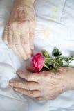 Χέρια της ηλικιωμένης κυρίας με τις ροδαλός-σειρές φωτογραφιών Στοκ Φωτογραφία