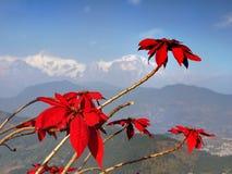 Σειρά Pokhara Poinsettia Annapurna Στοκ Εικόνες