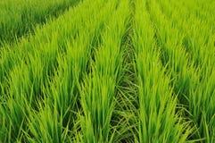 σειρές ρυζιού πεδίων Στοκ Φωτογραφία