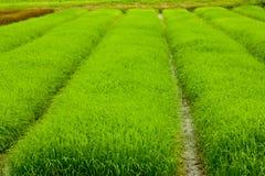 σειρές ρυζιού πεδίων Στοκ φωτογραφία με δικαίωμα ελεύθερης χρήσης