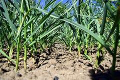 Σειρές της ανάπτυξης του σκόρδου σε ένα αγρόκτημα Στοκ φωτογραφία με δικαίωμα ελεύθερης χρήσης