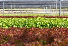 Σειρές της πράσινης βαλανιδιάς hydroponics στο αγρόκτημα Στοκ Εικόνες