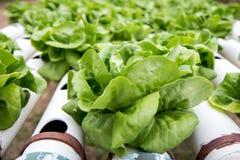 Σειρές της πράσινης σαλάτας με το σύστημα άρδευσης Στοκ Εικόνα