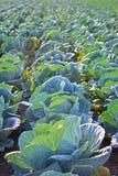 Σειρές τομέων Cabage Καλλιεργώντας οργανικό λάχανο Λάχανο στον τομέα έτοιμο να συγκομίσει Στοκ Εικόνες