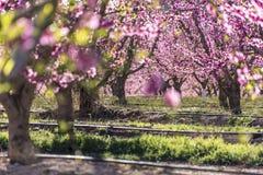Σειρές του δέντρου ροδακινιών στην άνθιση, με τα ρόδινα λουλούδια στην ανατολή Aitona alcarras, Torres de Segre Γεωργία στοκ φωτογραφίες