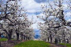 Σειρές του οπωρώνα μήλων δέντρων μηλιάς που ανθίζουν την άνοιξη Στοκ εικόνα με δικαίωμα ελεύθερης χρήσης