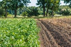 Σειρές του τεύτλου χορτονομής στον τομέα Συγκομιδή και καλλιέργεια στοκ φωτογραφία