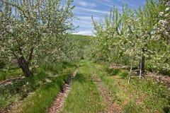 Σειρές των δέντρων μηλιάς την άνοιξη Στοκ φωτογραφία με δικαίωμα ελεύθερης χρήσης