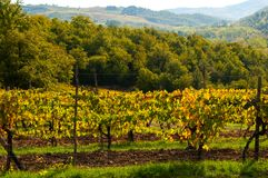Σειρές των αμπέλων σταφυλιών στον αμπελώνα το φθινόπωρο, Chianti, Τοσκάνη, Ιταλία στοκ φωτογραφία με δικαίωμα ελεύθερης χρήσης