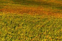Σειρές των αμπέλων σταφυλιών στον αμπελώνα το φθινόπωρο, Chianti, Τοσκάνη, Ιταλία Στοκ Εικόνες