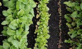 Σειρές των λαχανικών σαλάτας στην ανάπτυξη στην πλοκή Στοκ Εικόνα