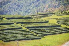 Σειρές των δέντρων τσαγιού στην κοιλάδα στο κινεζικό αγρόκτημα τσαγιού Όμορφος πράσινος τομέας τσαγιού στην κοιλάδα κάτω από το μ Στοκ Φωτογραφία