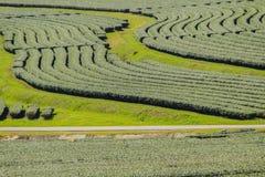 Σειρές των δέντρων τσαγιού στην κοιλάδα στο κινεζικό αγρόκτημα τσαγιού Όμορφος πράσινος τομέας τσαγιού στην κοιλάδα κάτω από το μ Στοκ φωτογραφίες με δικαίωμα ελεύθερης χρήσης