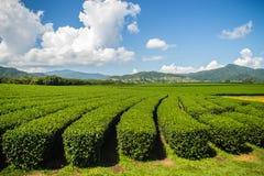Σειρές των δέντρων τσαγιού στο κινεζικό αγρόκτημα τσαγιού Όμορφο τοπίο ο Στοκ Εικόνα