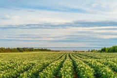 Σειρές των εγκαταστάσεων πατατών σε έναν τομέα πατατών με τη συνομοσπονδία Β στοκ εικόνες