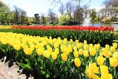 Σειρές των κίτρινων και κόκκινων τουλιπών Στοκ Εικόνες