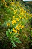 Σειρές των κίτρινων λουλουδιών Arrowleaf Balsamroot την άνοιξη φύσης tim Στοκ Εικόνες