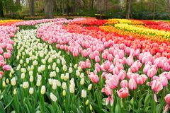 Σειρές των λουλουδιών τουλιπών στοκ φωτογραφία