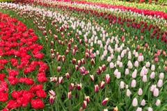 Σειρές των λουλουδιών τουλιπών Στοκ Εικόνες