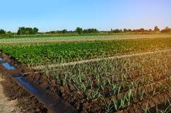 Σειρές των νέων φυτικών σποροφύτων Τομέας με τα σπορόφυτα πράσο, ζ Στοκ φωτογραφία με δικαίωμα ελεύθερης χρήσης