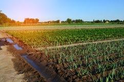 Σειρές των νέων φυτικών σποροφύτων Τομέας με τα σπορόφυτα πράσο, ζ Στοκ Εικόνα