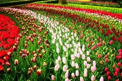 Σειρές των λουλουδιών τουλιπών Στοκ εικόνες με δικαίωμα ελεύθερης χρήσης