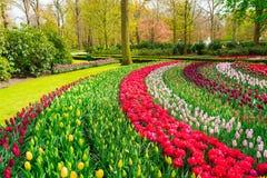 Σειρές των λουλουδιών τουλιπών Στοκ Φωτογραφίες