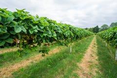 Σειρές των strowberries που αυξάνονται στο αγρόκτημα φρούτων Στοκ Φωτογραφίες