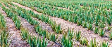 Σειρές Aloe Βέρα Plants στη Αρούμπα στοκ φωτογραφίες