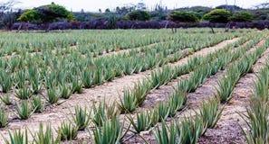 Σειρές Aloe Βέρα Plants στη Αρούμπα στοκ φωτογραφία