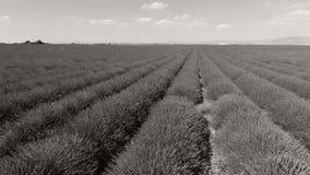Σειρές lavender στη Γαλλία απόθεμα βίντεο