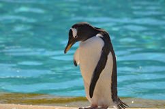 Σεμνό Gentoo Penguin που στέκεται εκτός από το νερό Aqua στοκ εικόνες