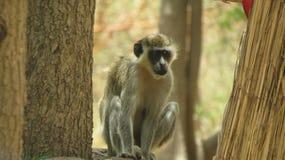 Σενεγαλέζικος πίθηκος 4 Στοκ Φωτογραφία