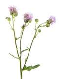 Σερνμένος λουλούδια κάρδων ή Cirsium arvense που απομονώνονται στο άσπρο υπόβαθρο Ιατρικές και της εισβολής εγκαταστάσεις Στοκ φωτογραφία με δικαίωμα ελεύθερης χρήσης