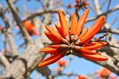Σερνμένος λουλούδι Erythrina κοραλλιών Στοκ Εικόνες