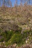 Σερνμένος Bearberry Uva Ursi εγκαταστάσεων Στοκ φωτογραφία με δικαίωμα ελεύθερης χρήσης
