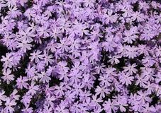 Σερνμένος phlox υπόβαθρο λουλουδιών Στοκ Φωτογραφία
