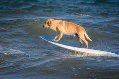 Σερφ του σκυλιού σε ένα surfboad στη θάλασσα που οδηγά τα κύματα στοκ φωτογραφίες