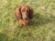 Σε έναν περίπατο με το dachshund Στοκ εικόνες με δικαίωμα ελεύθερης χρήσης