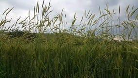 Σε έναν τομέα σίτου τα πράσινα αυτιά του σίτου κινούνται ήσυχα από έναν μαλακό αέρα απόθεμα βίντεο
