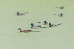 Σε ένα έλος που καλύπτεται με έναν τάπητα των πράσινων αλγών που επιπλέουν το κοπάδι των παπιών Στοκ εικόνα με δικαίωμα ελεύθερης χρήσης